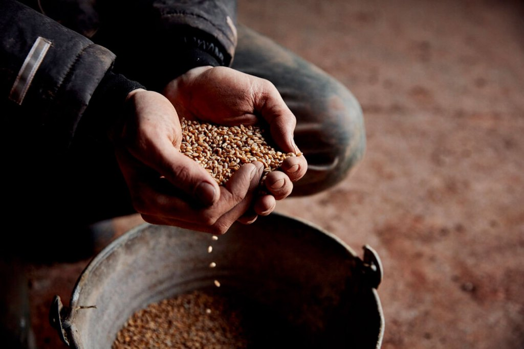 Las tierras colaborativas permiten también explorar nuevas semillas y granos, rescatando especies nativas y fomentando mayor diversidad de cultivos. Créditos: https://www.gothelneyfarmer.co.uk/